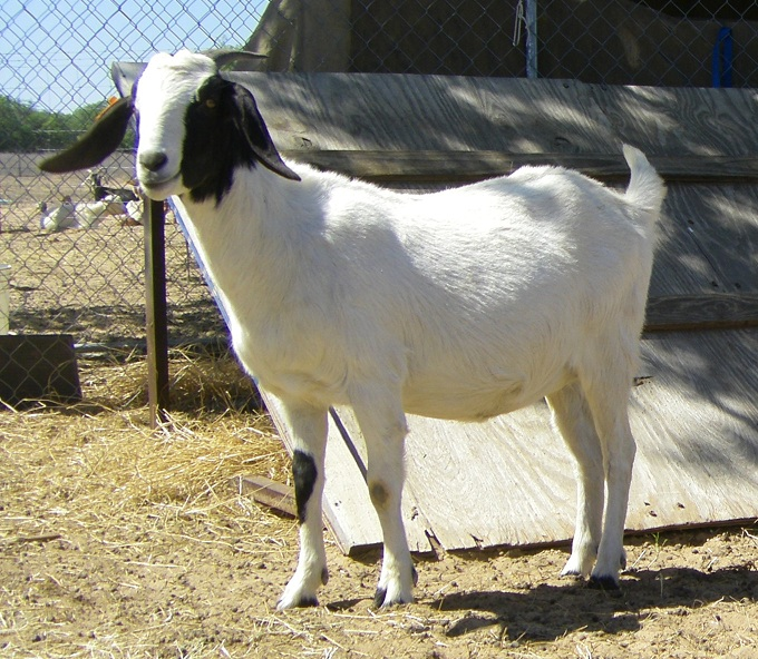 Half Nubian Boer doe yearling