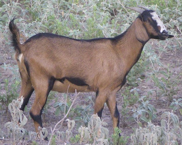 Half Nubian Spanish doe goat two-year old