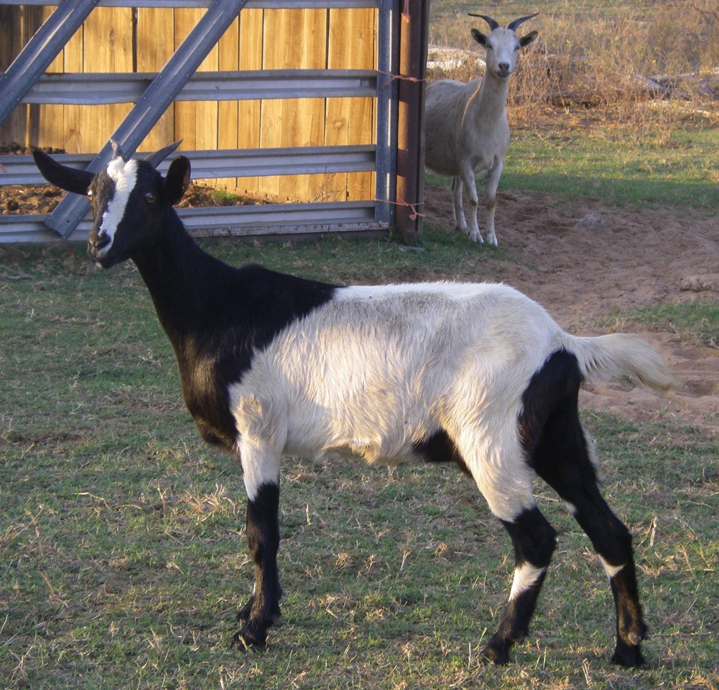 Nubian Spanish cross yearling doe dairy goat